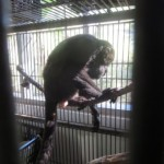 Bernardo, an adult monkey we rescued that had been electrocuted by a transformer